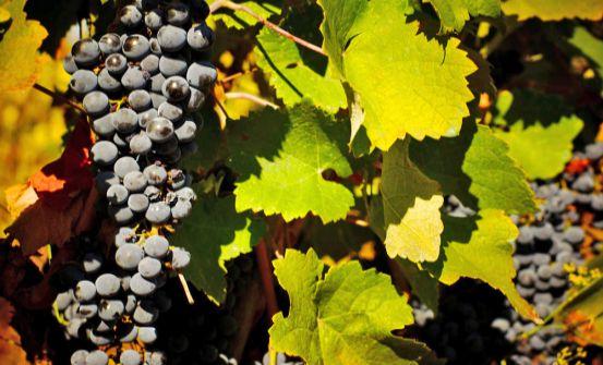 Ambelonas vineyard in Corfu